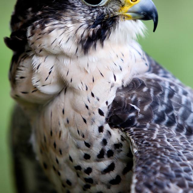 """""""Falcon"""" stock image"""