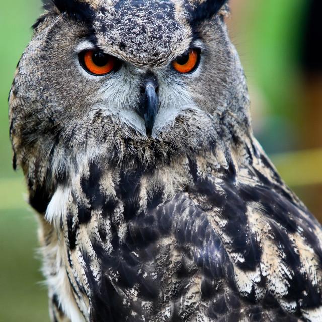 """Owl portrait"" stock image"