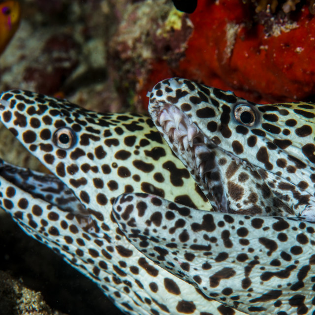 """""""Black Spotted Mooray Twins"""" stock image"""