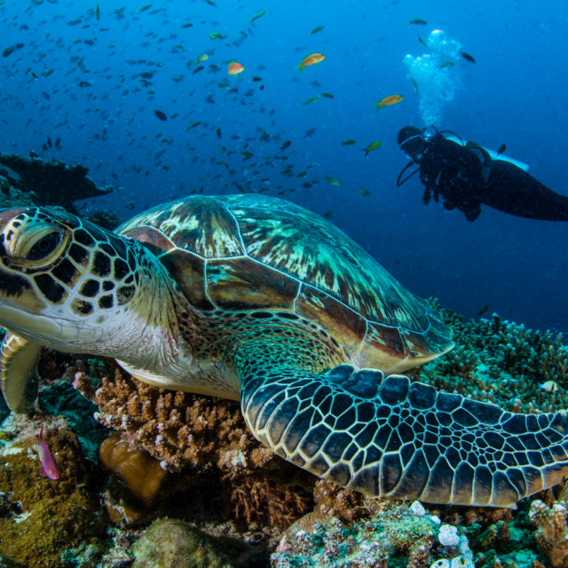 """Green Turtle"" stock image"