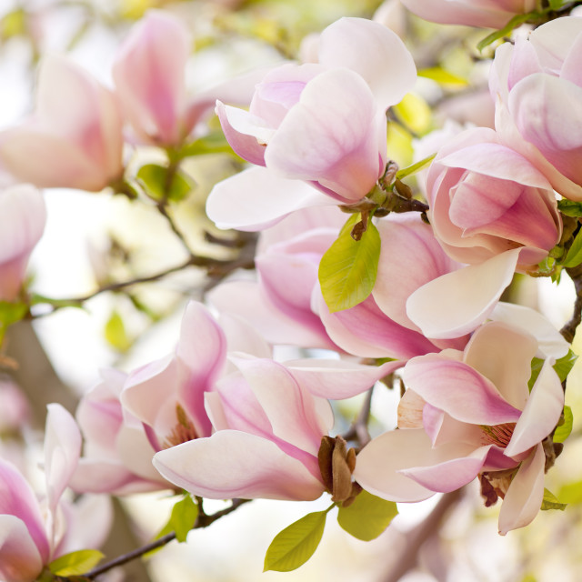 """Pink magnolia flowers in spring"" stock image"