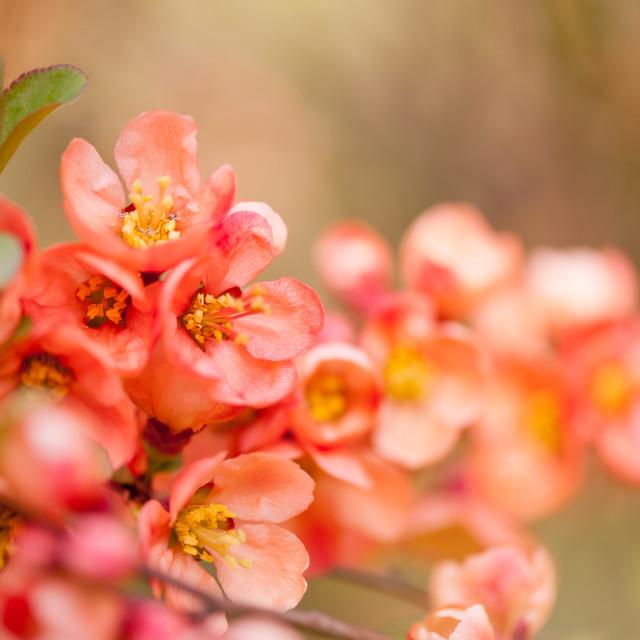 """Chaenomeles flowering shrub closeup"" stock image"