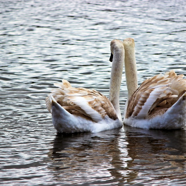 """Two Young Swans In Love"" stock image"