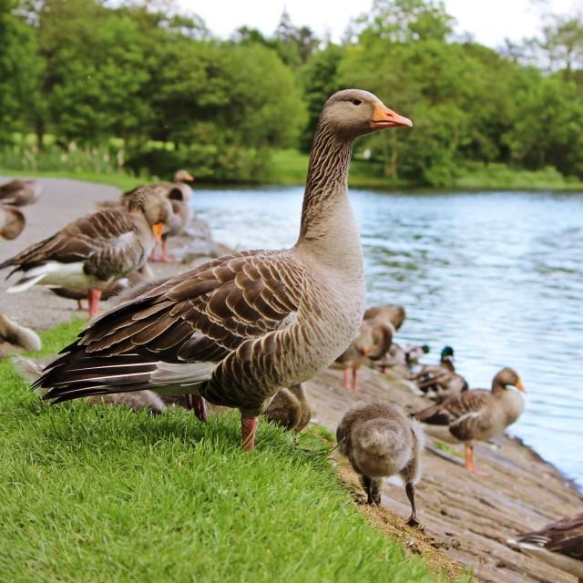 """Greylag Geese Gathering"" stock image"