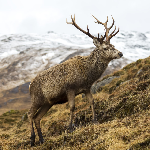 """Royal Red Deer Stag in Winter"" stock image"