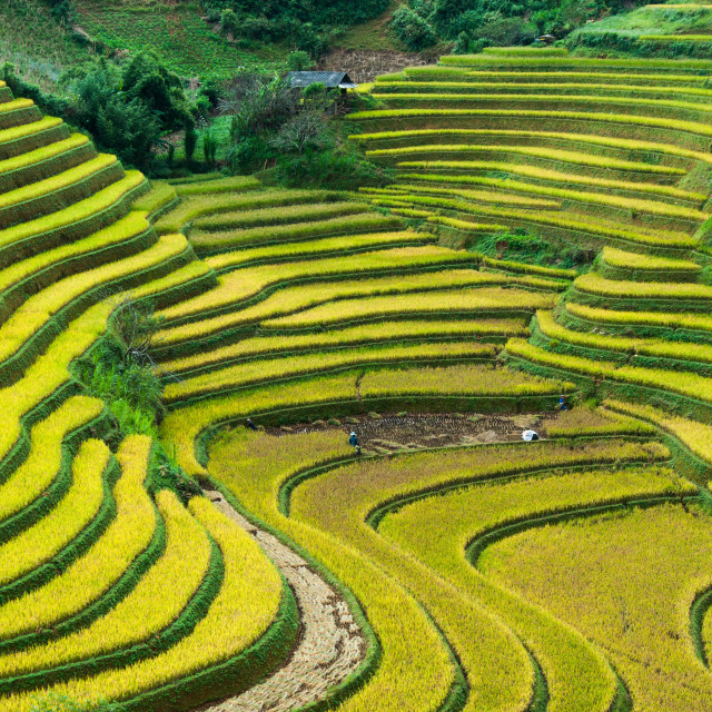 """Vietnam rice terraces"" stock image"