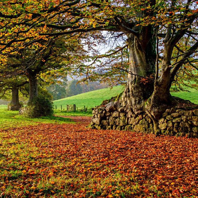 """Beech trees in Chagford."" stock image"