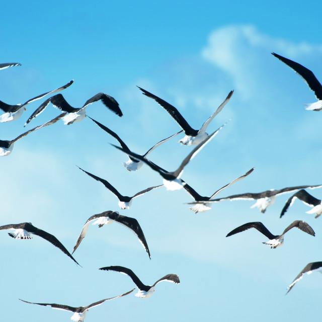 """A flock of Blackbacked or Kelp gulls take flight"" stock image"