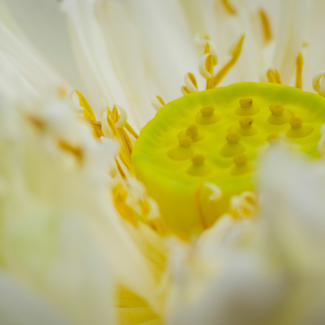 """Pistil inside white lotus"" stock image"