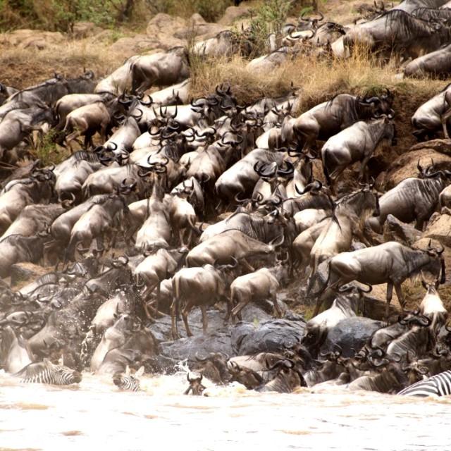 """wild beast migration"" stock image"