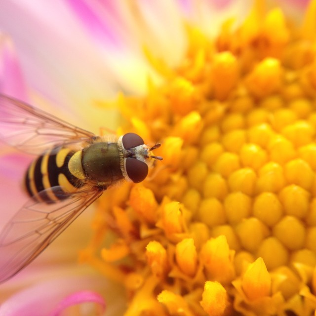 """""""Hover fly pollinating a dahlia"""" stock image"""
