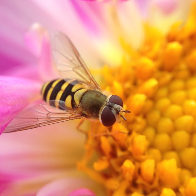 """Hover fly pollinating a dahlia"" stock image"