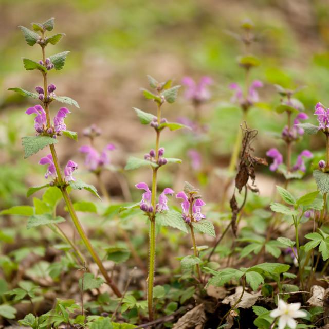 """""""Lamium maculatum pink flowering"""" stock image"""