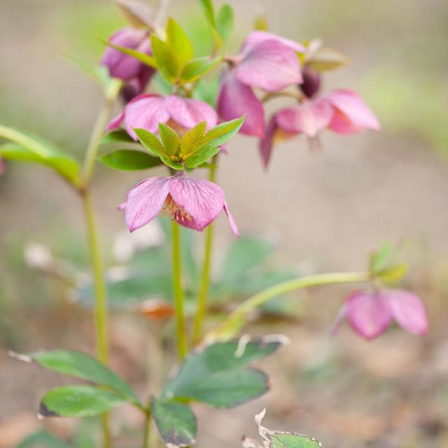 """Hellebore pink flowers closeup"" stock image"