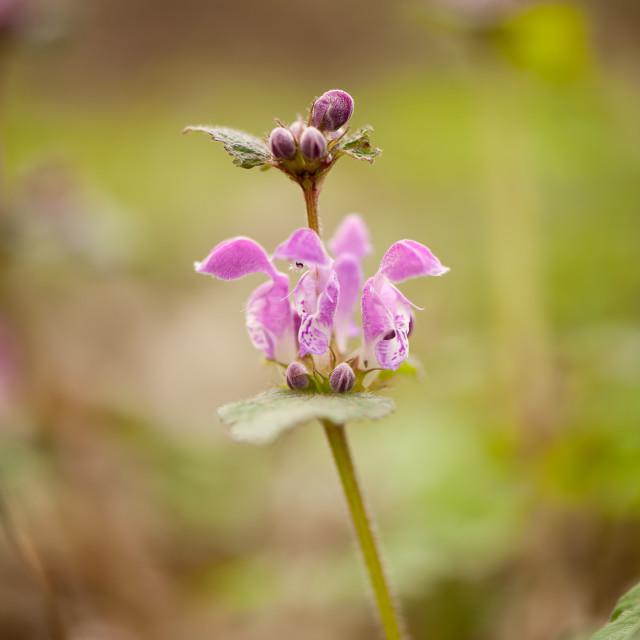 """""""Lamium maculatum pink blossoms"""" stock image"""