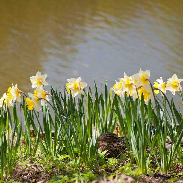 """Wild duck sleeping in flowers"" stock image"