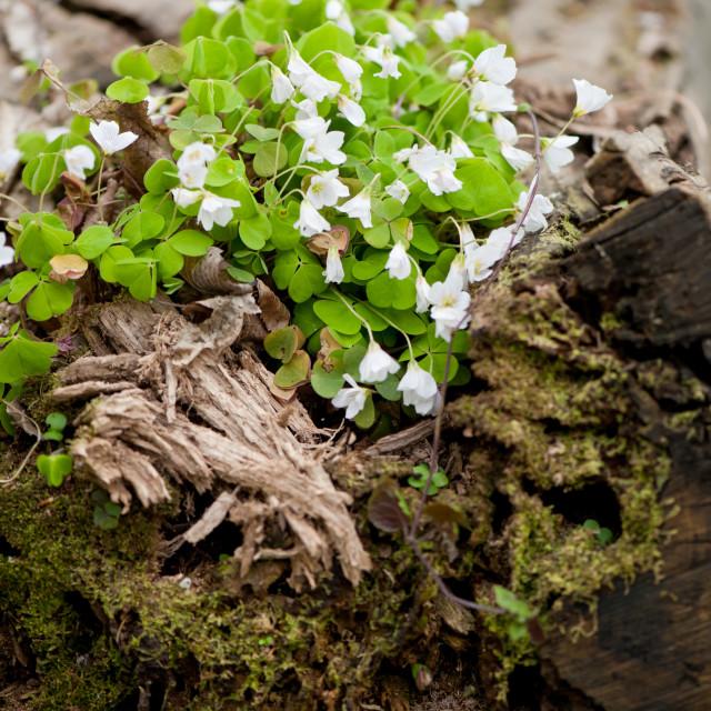 """""""Wood sorrel efflorescence"""" stock image"""
