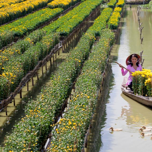 """southern vietnamese women preparing and cutting chrysanthemum flowers for the traditional festival"" stock image"