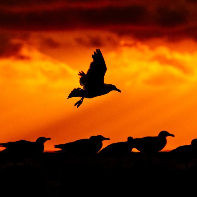 """Sunset Seagulls"" stock image"