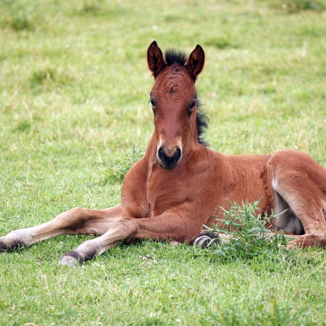 """cute brown foal lying on meadow"" stock image"