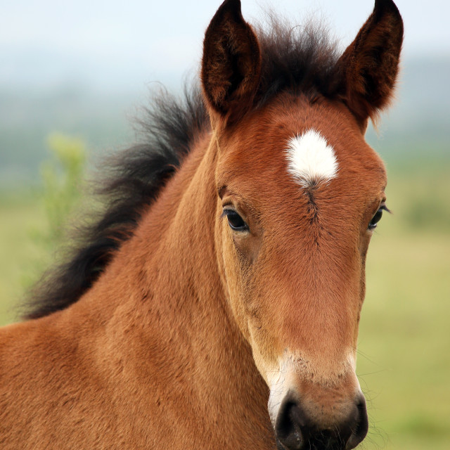 """brown foal portrait"" stock image"