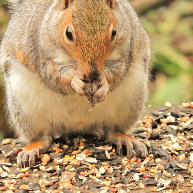 """""""Grey Squirrel (Sciurus carolinensis)."""" stock image"""