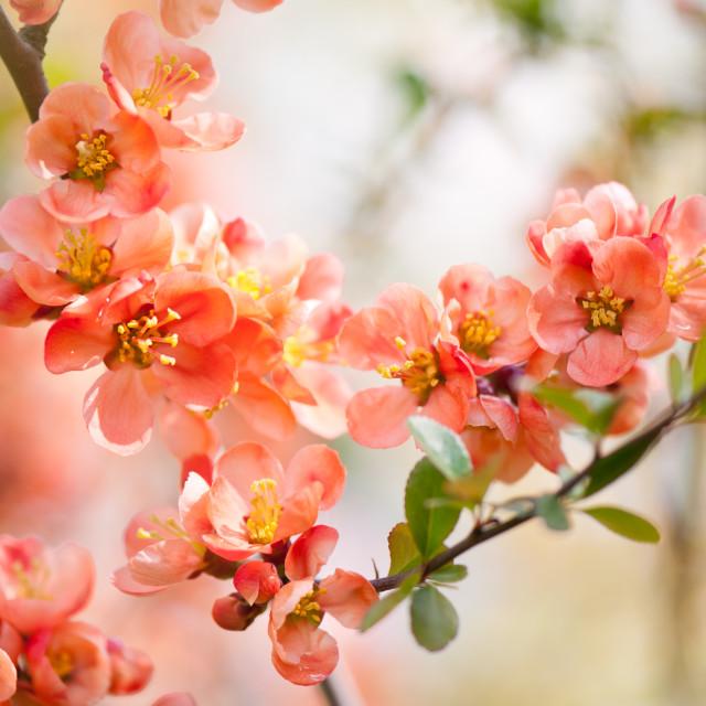 """Chaenomeles blooming shrub closeup"" stock image"
