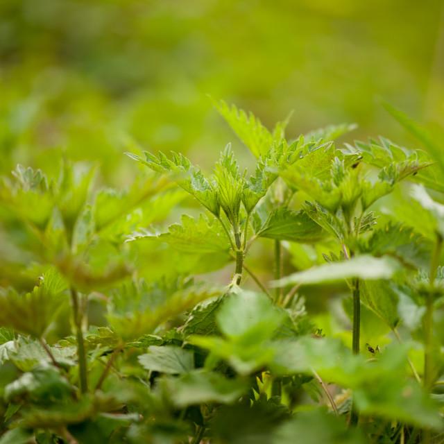 """Stinging nettle plants grow"" stock image"