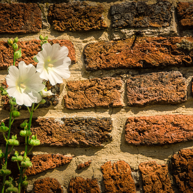 """Wall and Hollyhocks"" stock image"