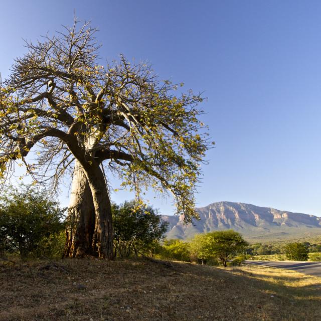 """""""Baobab tree"""" stock image"""