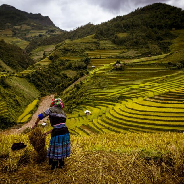 """Vietnam Amazing Rice Field"" stock image"