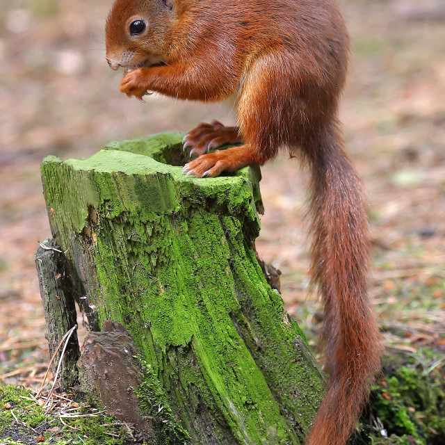 """Red Squirrel on Stump"" stock image"