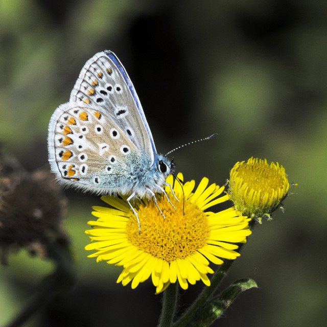 """Common Blue Butterfly ( Polommatus icarus ) (III)"" stock image"
