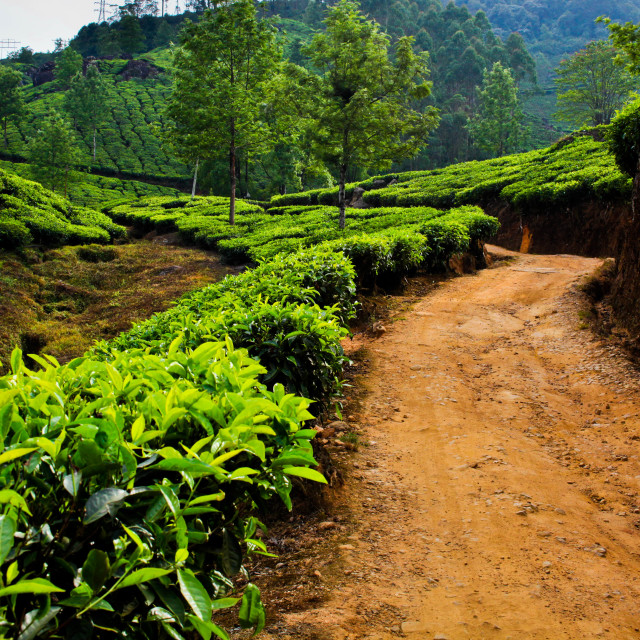 """The Tea Plantation"" stock image"