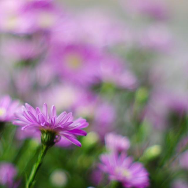 """Aster amellus (nice purple bokeh)"" stock image"