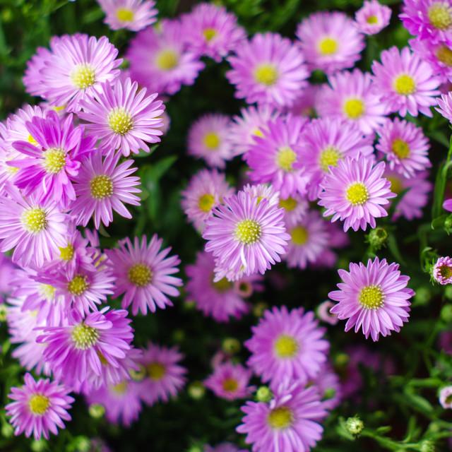 """Aster amellus (nice purple)"" stock image"