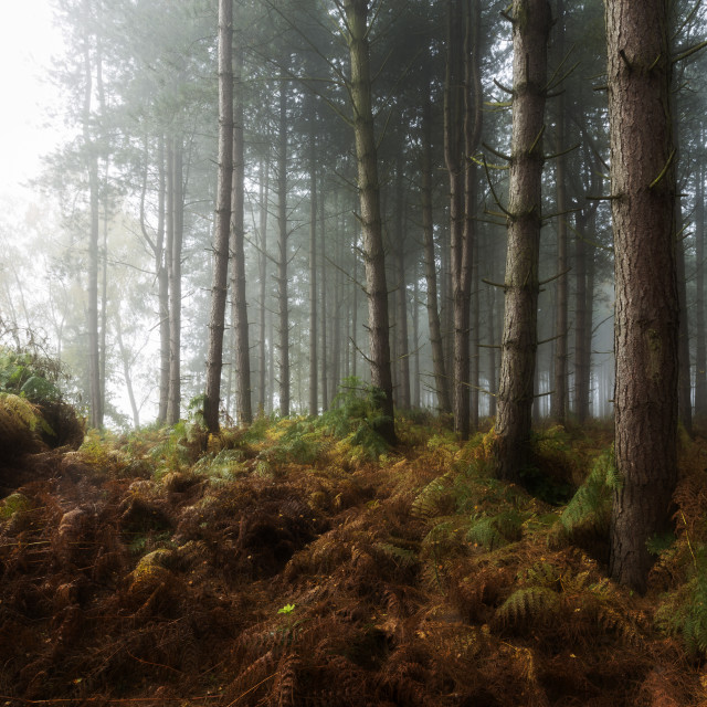 """Foggy Light on woodland Ferns"" stock image"