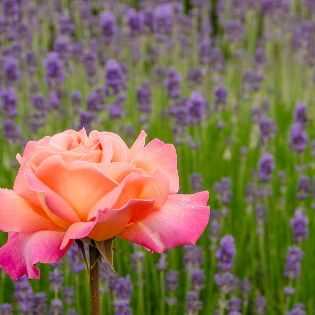 """""""Rose and Lavender"""" stock image"""