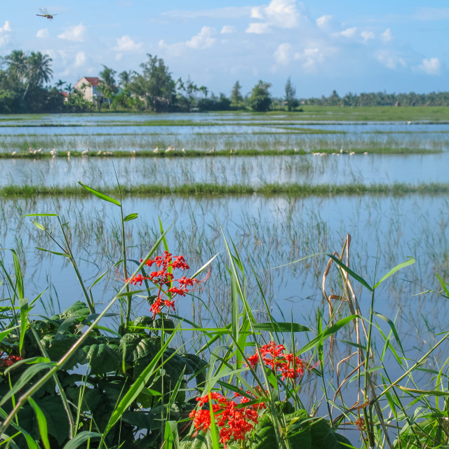 """""""Dragonfly Flying Over A Rice Field"""" stock image"""