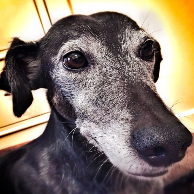 """Lurcher headshot"" stock image"