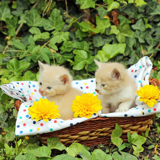 """""""small kittens in wicker basket"""" stock image"""