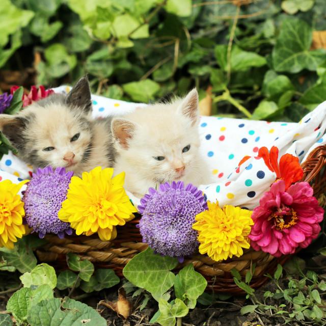 """""""cute kittens in wicker basket"""" stock image"""