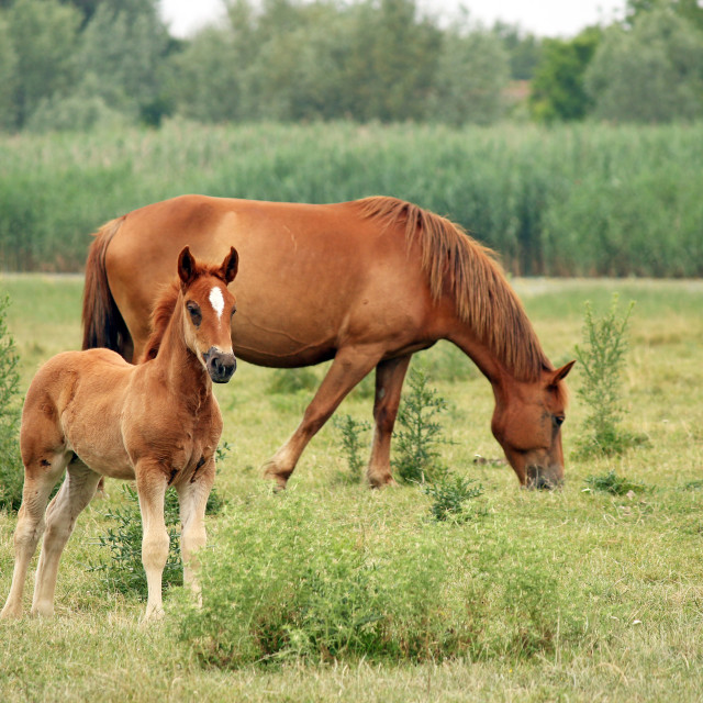 """brown foal and horse on pasture"" stock image"