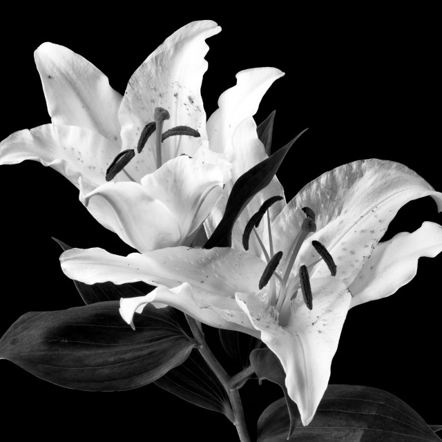 """White Lilly on Black in monochrome."" stock image"