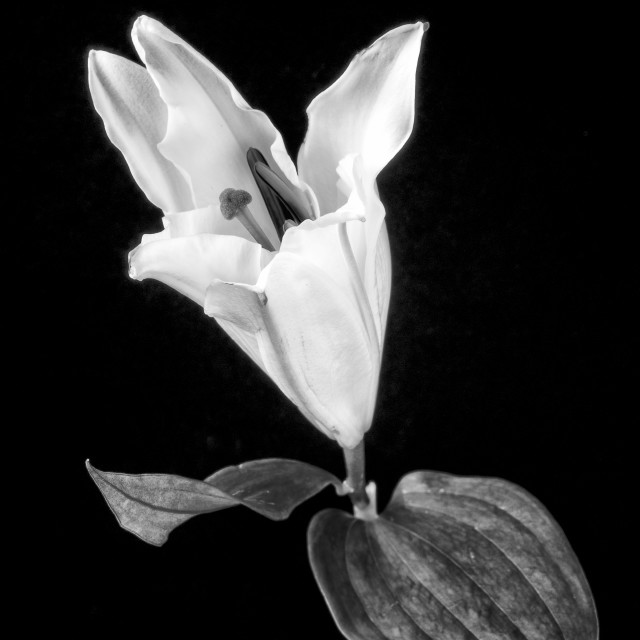 """""""White Lily on Black."""" stock image"""