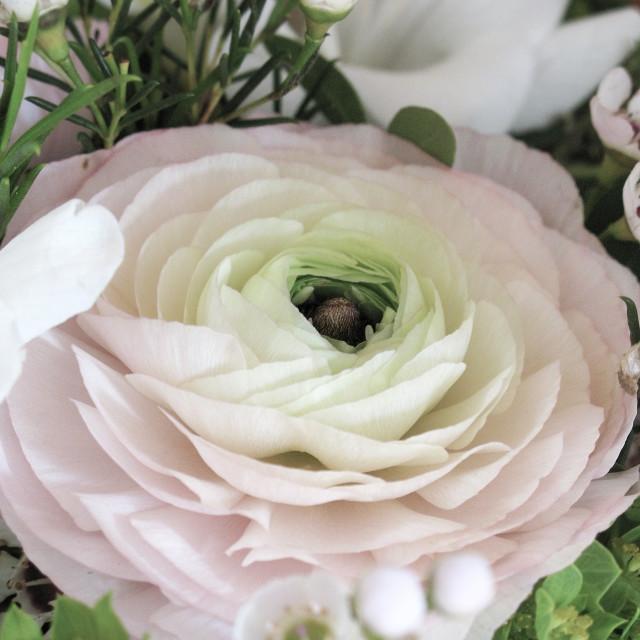 """Pink ranunculus flower closeup"" stock image"