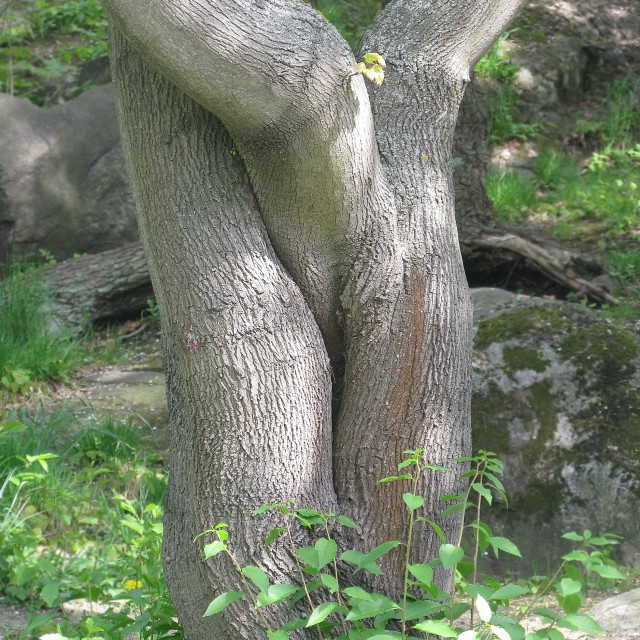 """Tree trunks embrace"" stock image"