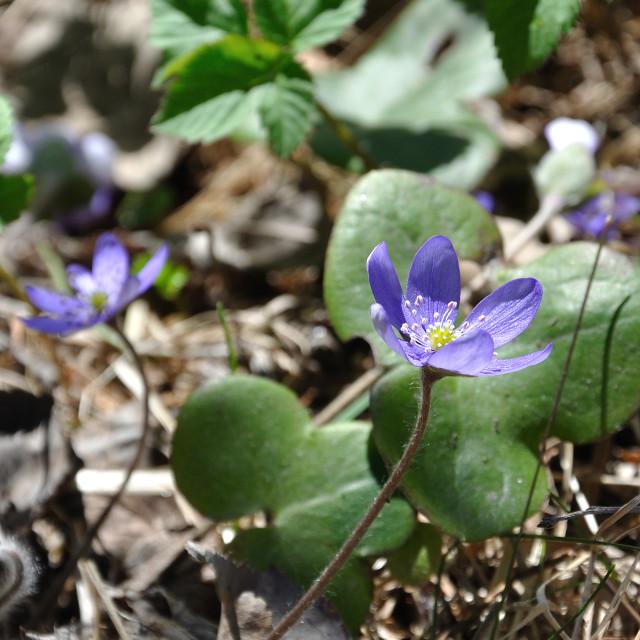"""Blue Hepatica wild flowers"" stock image"