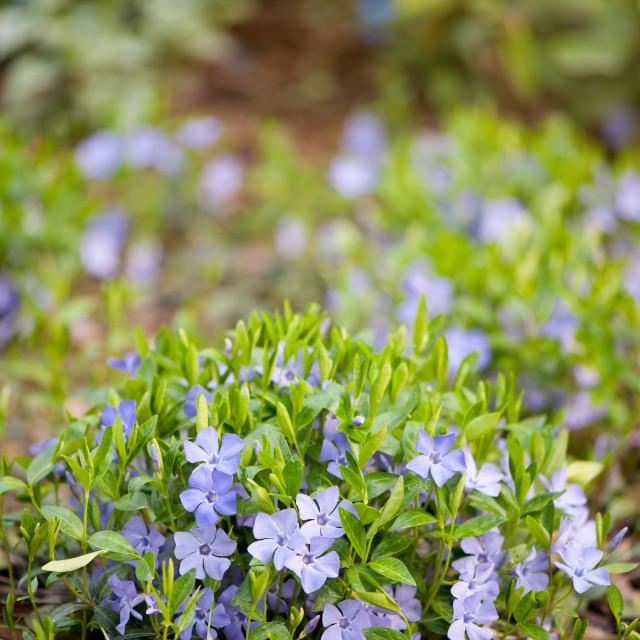 """Vinca blooming clump"" stock image"