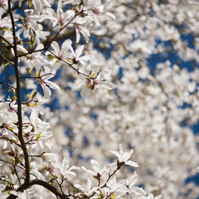 """White magnolia blurry copyspace"" stock image"
